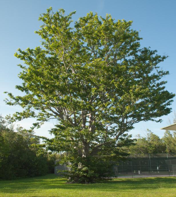 Calusa Park Tree