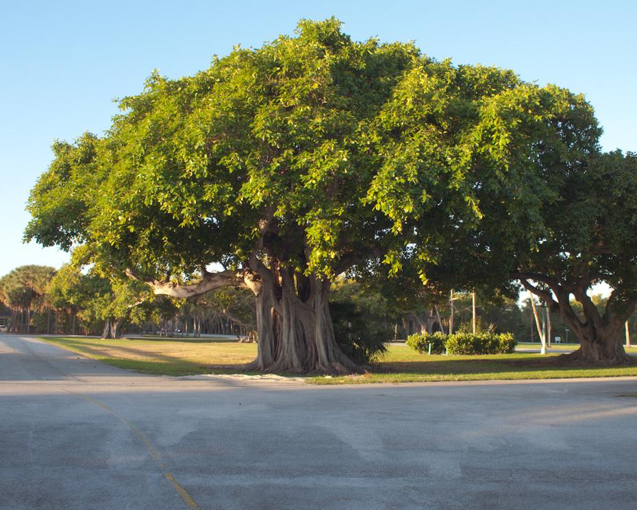 Crandon Tree