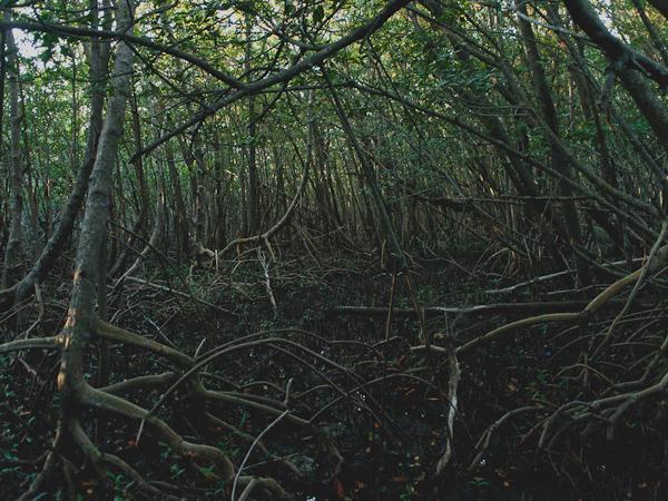 Mangroves behind Calusa