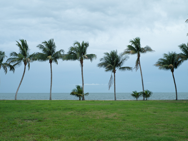 My favorite palms in Key Biscayne