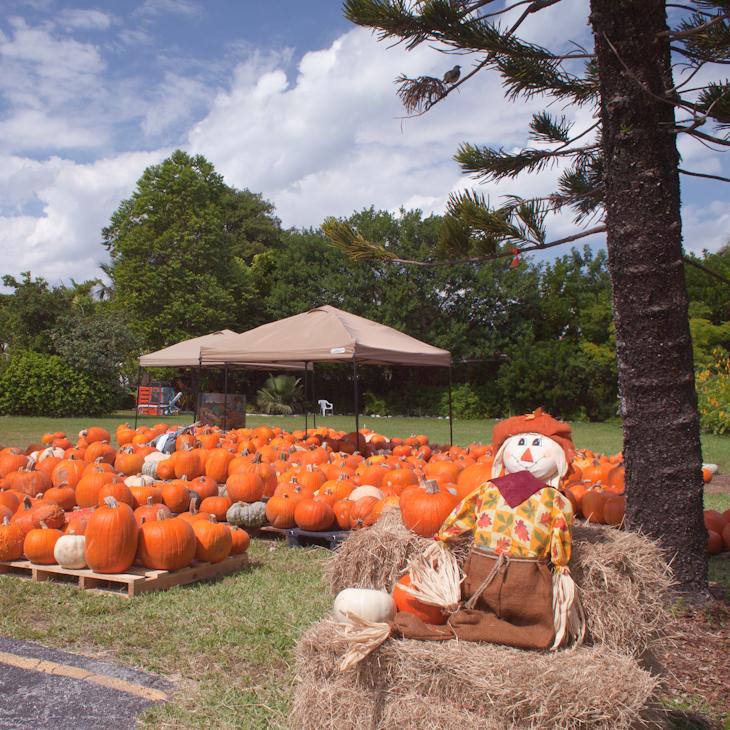 Pumpkin Man Key Biscayne