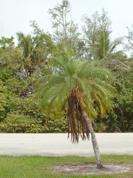 Roadside Palm in Key Biscayne