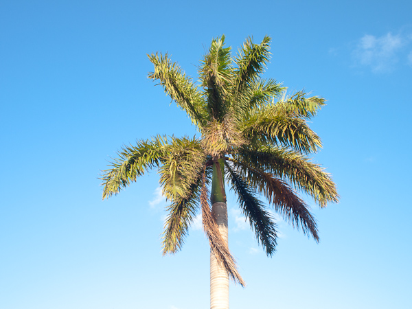 Royal Palm Tree Key Biscayne