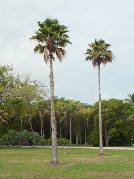 Two Trees around Crandon Park Key Biscayne